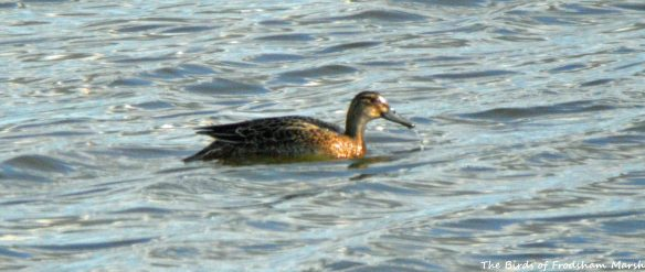 30.07.15. female Garganey, No.6 tank, Frodsham Marsh. Bill Morton (1)