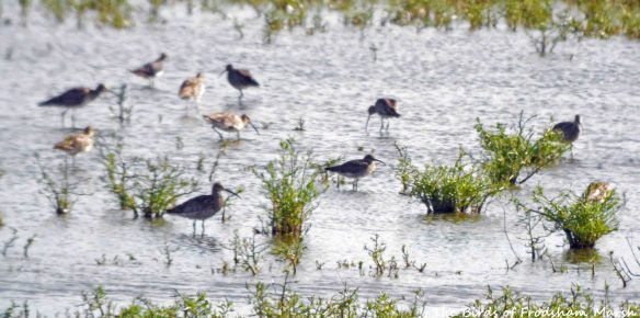 30.07.15. Whimbrel and Curlew, No.6 tank, Frodsham Marsh. Bill Morton (1)