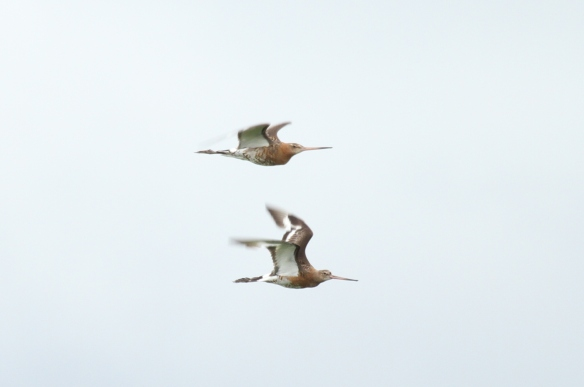 01.08.15. Black-tailed Godwit, No.6 tank, Frodsham Marsh. Heather Wilde (4)