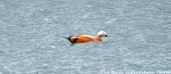 01.08.15. female Ruddy Shelduck, No.6 tank, Frodsham Marsh. Bill Morton (2)
