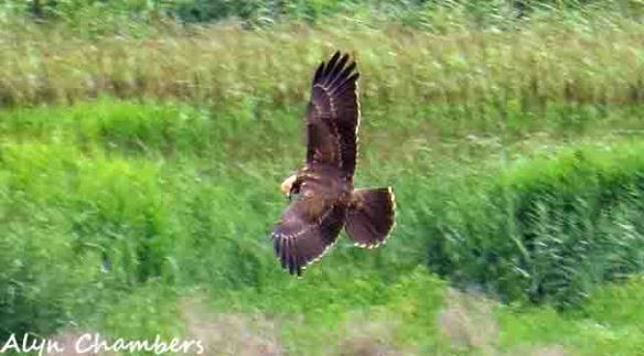 01.08.15. Marsh Harrier (1 juv), No.6 tank, Frodsham Marsh, Alyn Chambers.