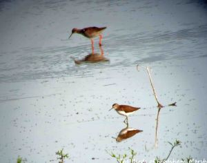 08.08.15. Green Sandpiper and Redshank, No.6 tank, Frodsham Marsh. Bill Morton