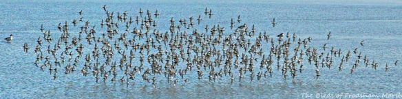 10.08.15. Dunlin flock, No.6 tank, Frodsham Marsh. Bill Morton (1)