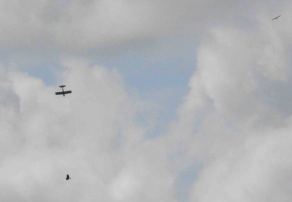 16.08.15. Common Buzzards and Model aircraft, No.6 tank, Frodsham Marsh. Bill Morton