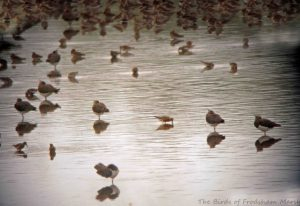 16.08.15. summer Curlew Sandpiper, No.6 tank, Frodsham Marsh. Bill Morton (2)