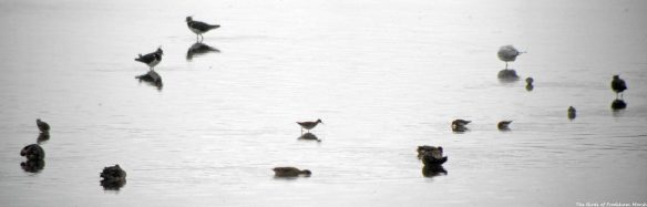 16.08.15. Wood Sandpiper, No.6 tank, Frodsham Marsh. Bill Morton (2)