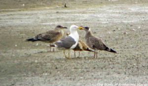 18.08.15. Lesser Black-backed Gull (adult) with juveniles, No.6 tank, Frodsham Marsh. Bill Morton