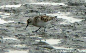 18.08.15. Little Stint (juvenile), No.6 tank, Frodsham Marsh. Bill Morton (2)