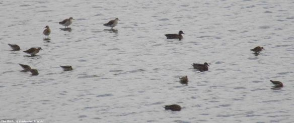 18.08.15. Ruffs and Common Teal, No.6 tank, Frodsham Marsh. Bill Morton