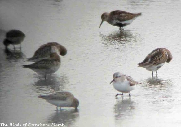18.08.15. Sanderling (adult), No.6 tank, Frodsham Marsh. Bill Morton (2)