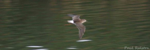 18.08.15. Wood Sandpiper, No.6 tank, Frodsham Marsh. Paul Ralston. (1)