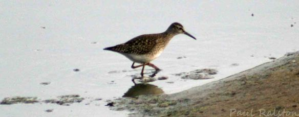 18.08.15. Wood Sandpiper, No.6 tank, Frodsham Marsh. Paul Ralston. (4)