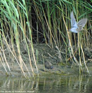 20.08.15. Water Rail and Common Snipe, No.6 tank (secluded pool), Frodsham Marsh. Bill Morton