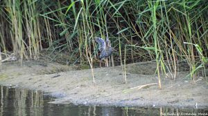 20.08.15. Water Rail, No.6 tank (secluded pool), Frodsham Marsh. Bill Morton