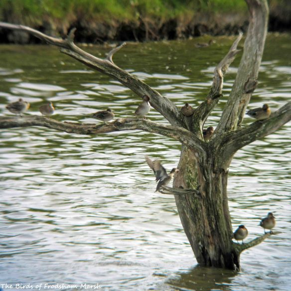 24.08.15. Common Teal perched in tree, No.6 tank, Frodsham Marsh. Bill Morton (3)