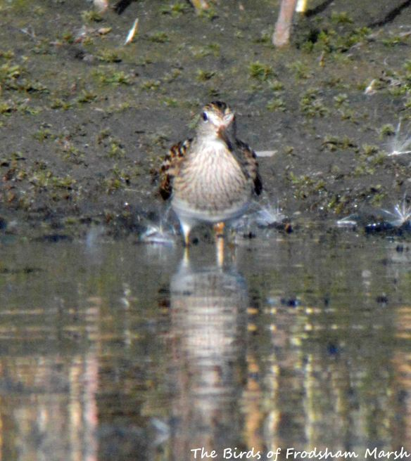24.08.15. Pectoral Sandpiper (juvenile), No.6 tank (secluded pool), Frodsham Marsh. Bill Morton, (1)