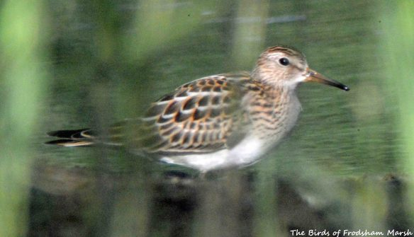 24.08.15. Pectoral Sandpiper (juvenile), No.6 tank (secluded pool), Frodsham Marsh. Bill Morton. (2)