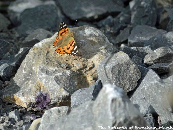 28.08.15. Painted Lady Butterfly, No.5 tank, Frodsham Marsh. Bill Morton