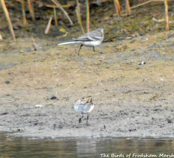 29.08.15. Little Stint (juvenile) and Pied Wagtail on the secluded pool, No.6 tank, Frodsham Marsh. Bill Morton (2)