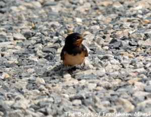 29.08.15. Swallow, Lordship Lane, Frodsham Marsh. Bill Morton