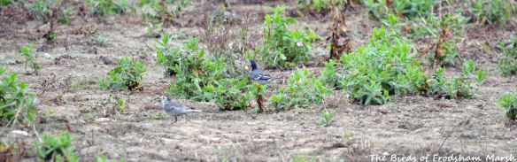 29.08.15. White Wagtails, Ince Marsh. Bill Morton