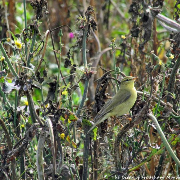 29.08.15. Willow Warbler (juvenile), Ince Marsh. Bill Morton (1)