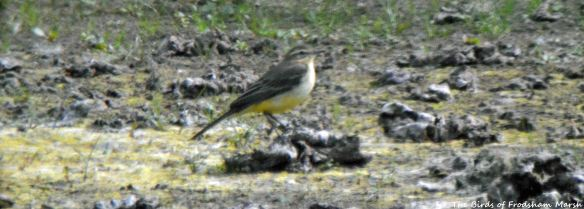 29.08.15. Yellow Wagtail on the secluded pool, No.6 tank, Frodsham Marsh. Bill Morton