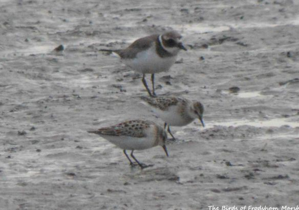 18.08.15. Little Stints (juvs), No.6 tank, Frodsham Marsh. Bill Morton