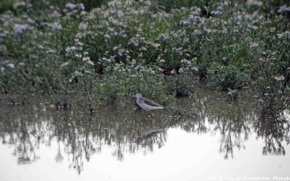 22.08.15. Greenshank, No.6 tank, Frodsham Marsh. Bill Morton