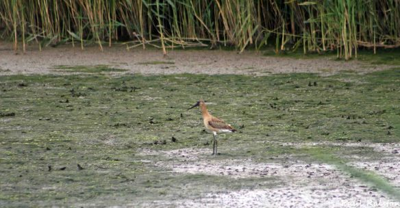 16.08.15. Black-tailed Godwit, Canal Pools, Frodsham Marsh. Paul Ralston