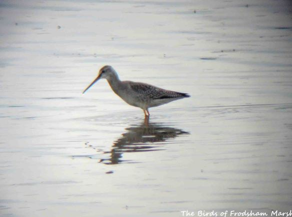22.08.15. Spotted Redshank, No.6 tank, Frodsham Marsh. Bill Morton