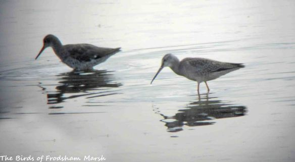 22.08.15. Spotted Redshank and Redshank, No.6 tank, Frodsham Marsh. Bill Morton