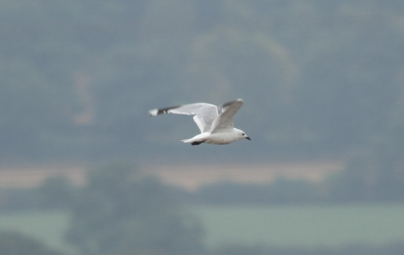 31.08.15. Common Gull?, No.6 tank, Frodsham Marsh. Heather Wilde