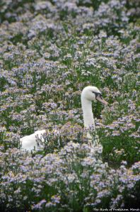 03.09.15. Mute Swan and Michaelmas Daisies, No6 tank, Frodshham Marsh (2)