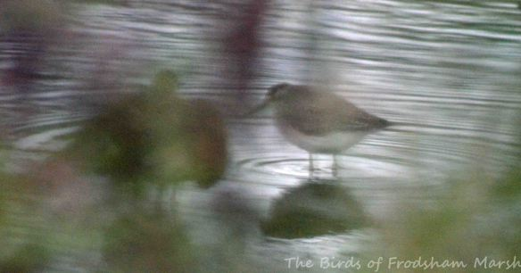 03.09.15. Wood Sandpiper, No6 tank, Frodshham Marsh (1)