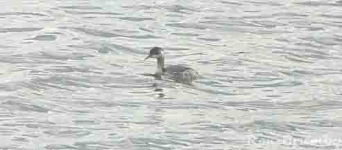 04.09.15. Black-necked Grebe, Ince Marshes. Ron Brumby (2)