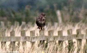 04.09.15. Buzzard, Ince Marshes. Ron Brumby (3)