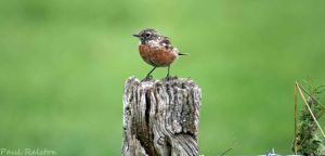 06.09.15. male Stonechat, No.1 tank, Frodsham Marsh. Paul Ralston (2)