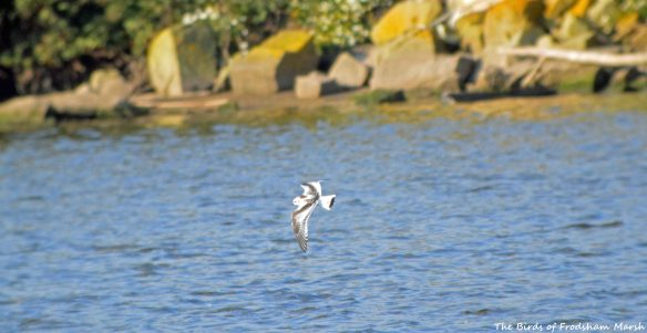 07.09.15. juvenile Little Gull, Weaver Estuary, Frodsham Marsh. Bill Morton (6)