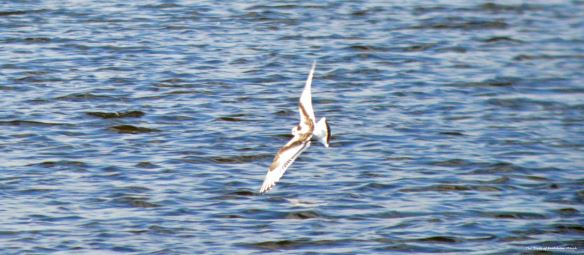 07.09.15. juvenile Little Gull, Weaver Estuary, Frodsham Marsh. Bill Morton