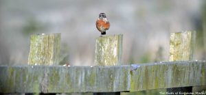 07.09.15. Stonechat(s), No.1 tank, Frodsham Marsh. Bill Morton (30)
