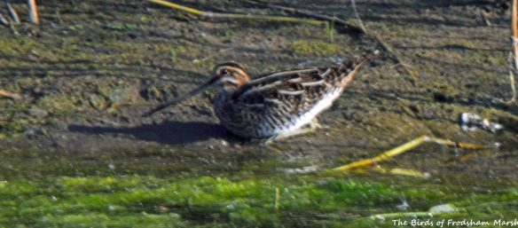 10.09.15. Common Snipe (juv), No.6 tank, Frodsham Marsh. Bill Morton