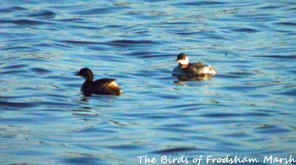 10.09.15. Little Grebe and Black-necked Grebe, No.6 tank, Frodsham Marsh. Bill Morton (1)