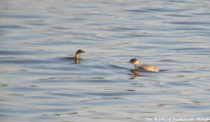 10.09.15. Little Grebe and Black-necked Grebe, No.6 tank, Frodsham Marsh. Bill Morton (2)