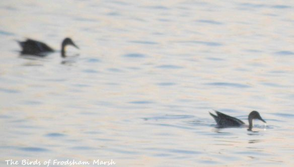10.09.15. Pintails, No.6 tank, Frodsham Marsh. Bill Morton