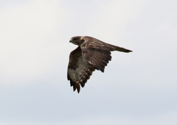 13.09.15. juCommon Buzzard, Frodsham Marsh. Tony Broome (1)