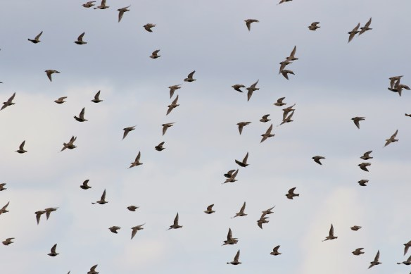 13.09.15.Starlings, Frodsham Marsh. Tony Broome.