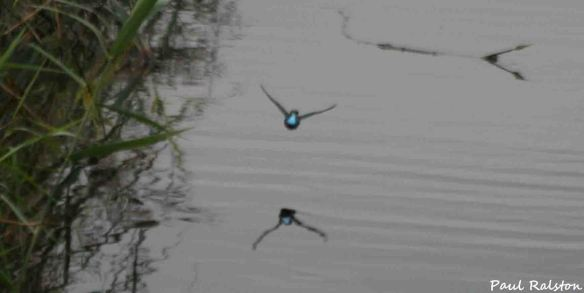 14.09.15. Kingfisher, Frodsham Marsh. Paul Ralston (6)