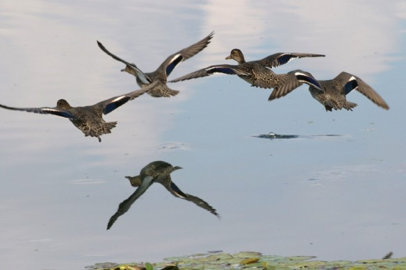 19.09.15. Common Teal, Canal Pools, Frodsham Marsh. Tony Broome (2)