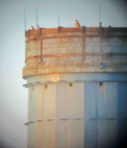 24.09.15.Peregrines on blue-topeed chimney from Marsh Farm, Frodsham Marsh. Bill Morton (12)